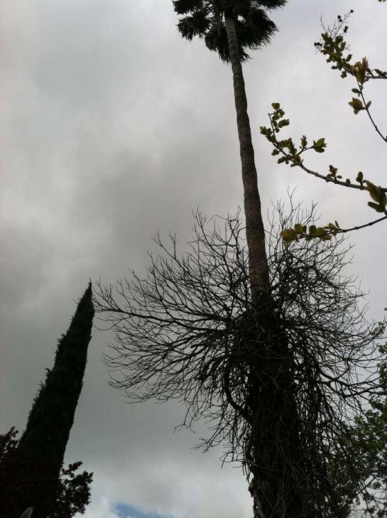 Sacramento Sky - Palm Tree with vine and black bird 4-7-13