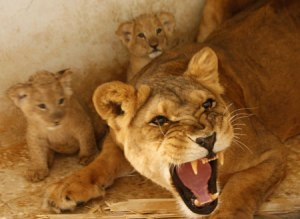 lioness-protects-cubs