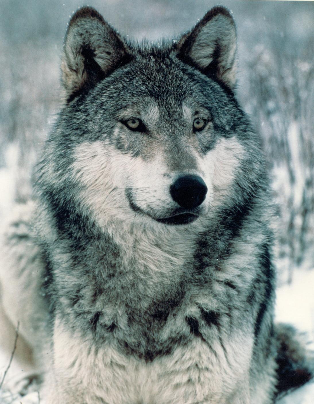 Wolf Photography Halloween Hotties: Wer...