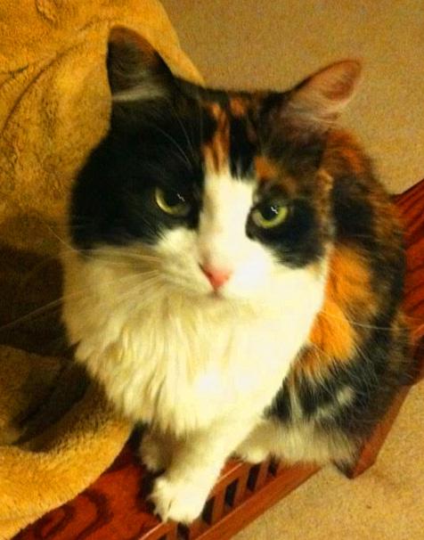 gloria the calico cat
