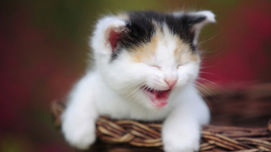 laughing-kitten