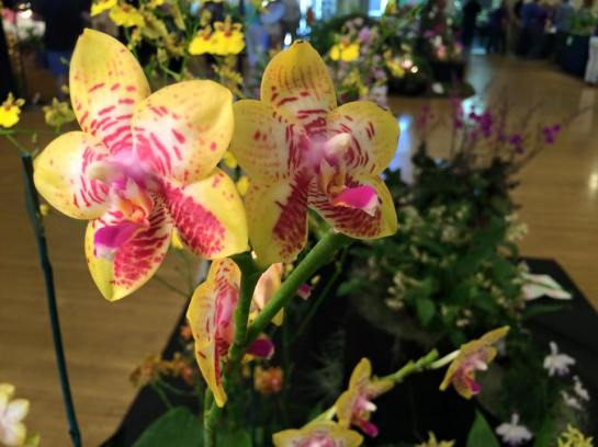 Orchid Show, Sacramento 2015