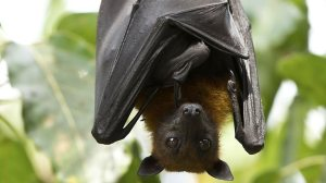 fruit bat cutie
