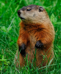 Look at those tiny little woodchuck arms.