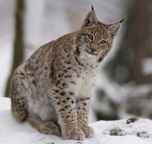 Lynx, Werelynx