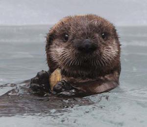 sea-otter-pup-300