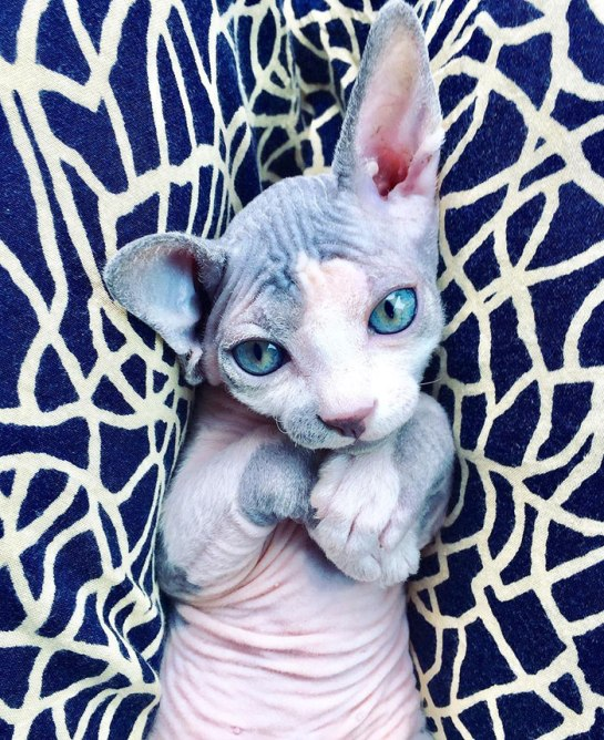 adorable-hairless-sphynx-kittens-57-5cb83f693d023__700